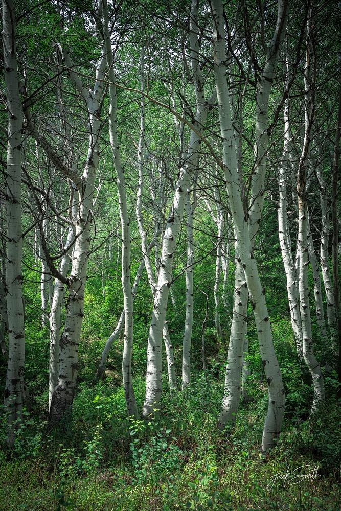 Aspen Trees R4_01895