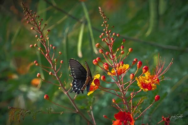 Butterfly R4_02174 - Animals - Jack Smith Studio