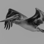 California  Brown Pelican in flight