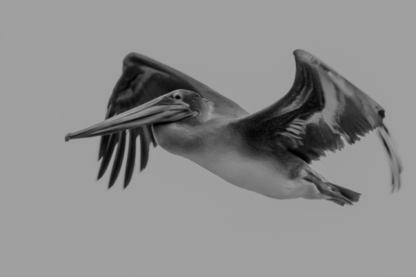 California  Brown Pelican in flight by MichaelReining