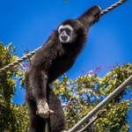 Gibbon on a wire.