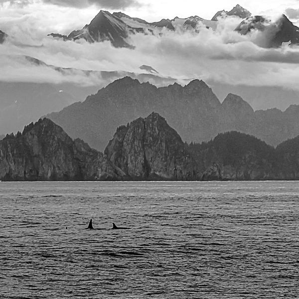 Orcas near Ragged Island by MichaelReining