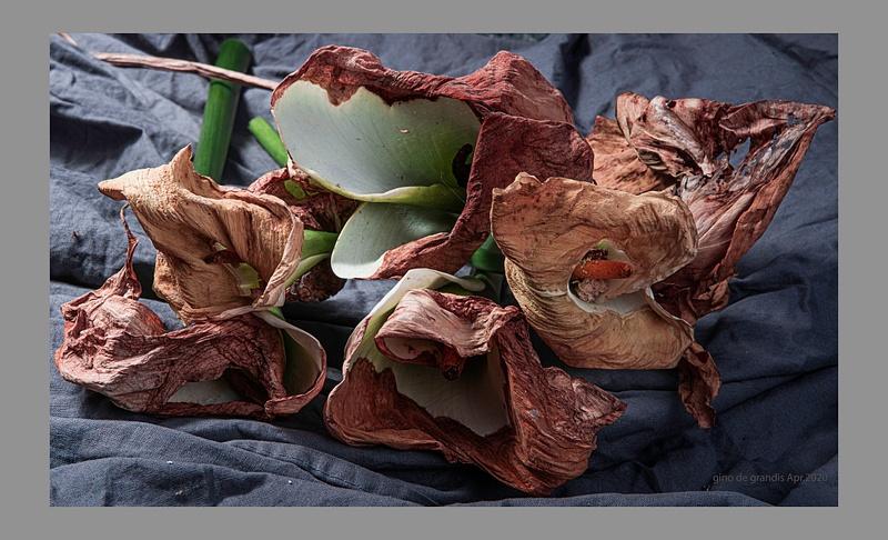 Dry Calla Lilies