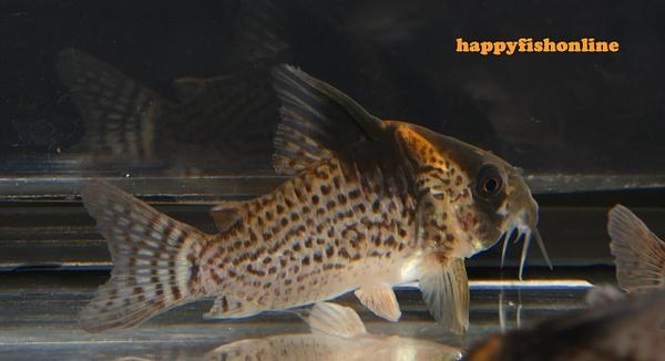 CW027 6 by happyfishonline