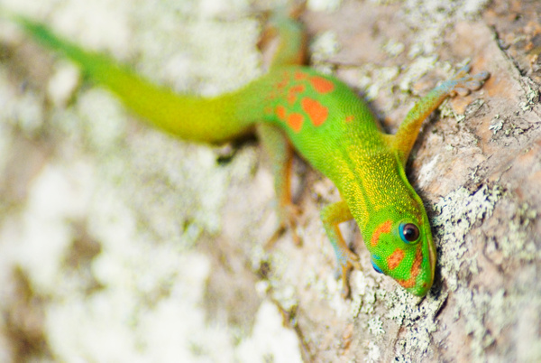 gecko 4 - Wildlife - Steve Juba Photography
