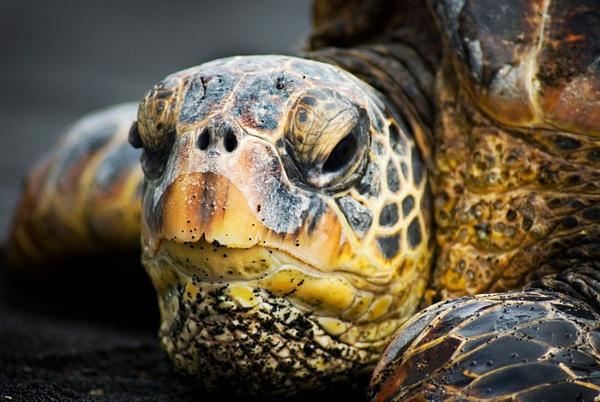 Sea Turtle Re-edit - Wildlife - Steve Juba Photography
