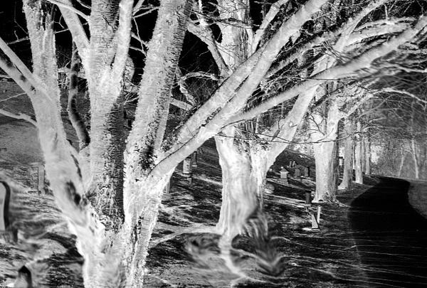 cemetary trees (neg) (smudge) - Landscape -  Steve Juba Photography