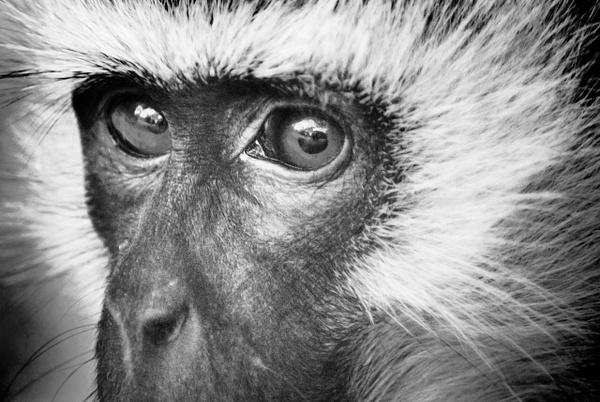 monkey face bw - Wildlife - Steve Juba Photography