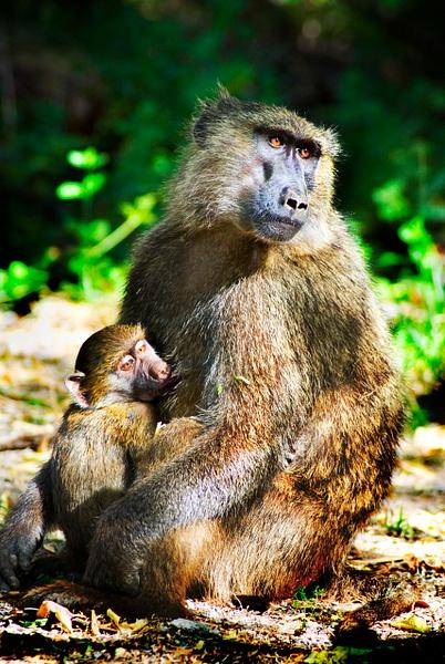 momma monkey - Wildlife - Steve Juba Photography
