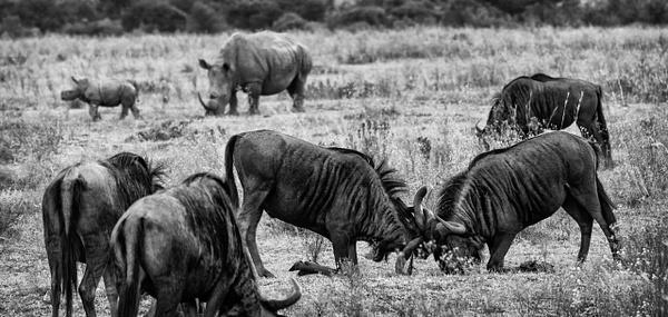 Wild Fight BW Crop - Wildlife - Steve Juba Photography