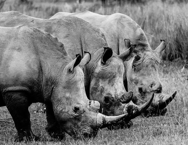 Rhino Trio - Wildlife - Steve Juba Photography
