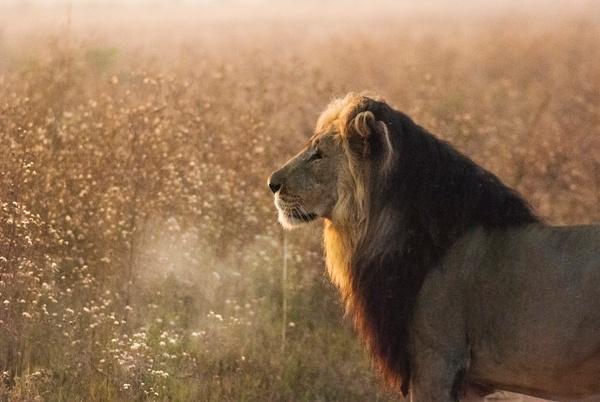 Grandfather sunset lion - Wildlife - Steve Juba Photography
