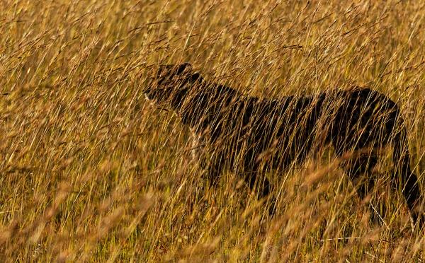Cheetah Ghost crop - Wildlife - Steve Juba Photography