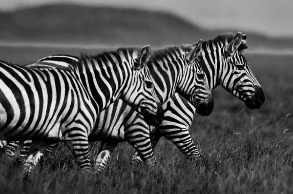 Zebra Heads - Wildlife - Steve Juba Photography