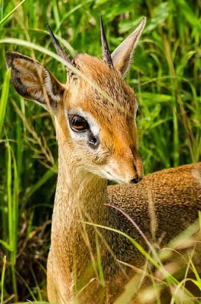 Dik Dik - Wildlife - Steve Juba Photography