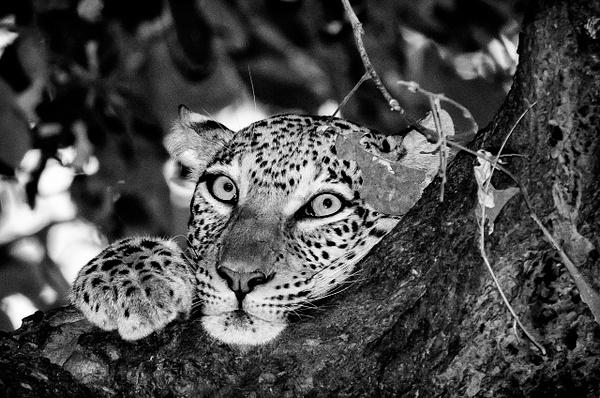 Leopard Lounge BW - Wildlife - Steve Juba Photography