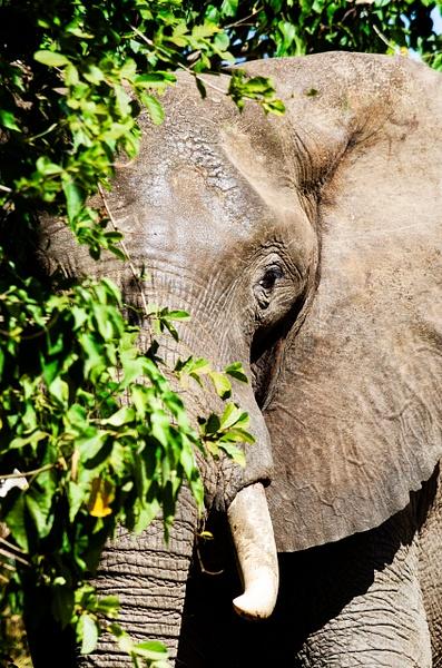 Elephant Tree - Wildlife - Steve Juba Photography