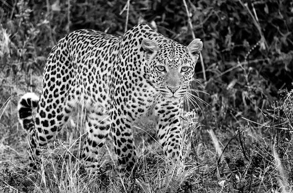 Leapord hunt BW - Wildlife - Steve Juba Photography