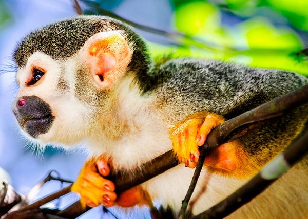 Amazon Monkey Lookout 3 - Wildlife - Steve Juba Photography