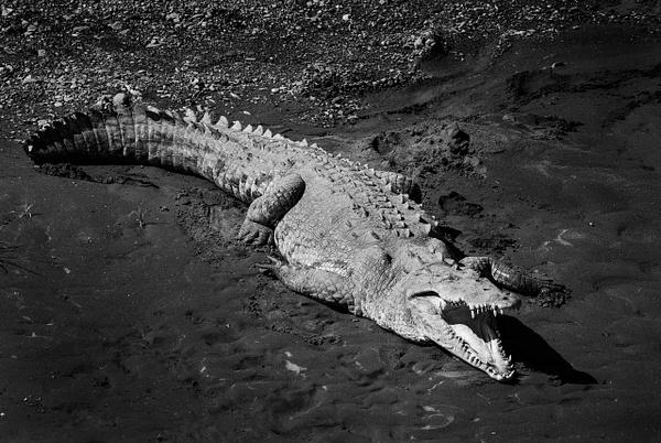 suntan croc - Wildlife - Steve Juba Photography