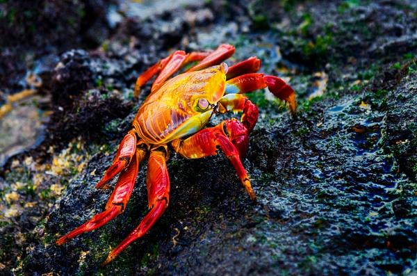 Galapagos Crab - Wildlife - Steve Juba Photography