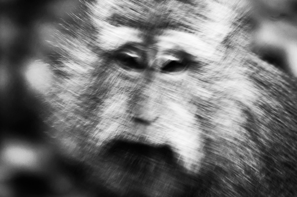 Drunk Monkey BW - Wildlife - Steve Juba Photography