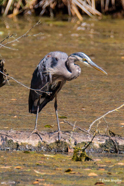 Heron on the Hunt at Wiley Slough - Herons - Rising Moon NW Photography