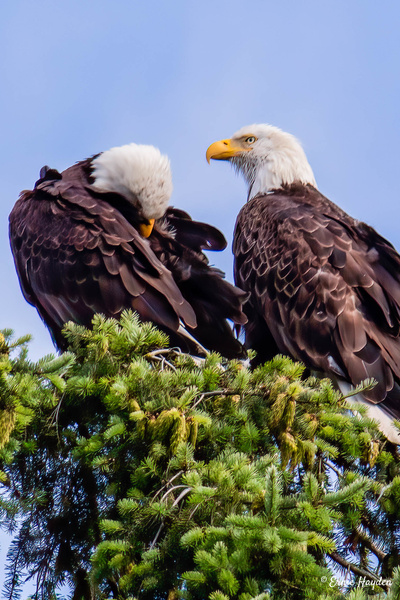 20200712_C Eagle Pair_006-Edit - Eagles & Raptors - Rising Moon NW Photography