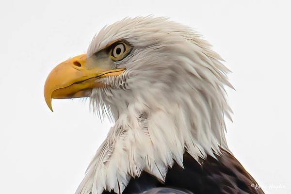 20201003 Eagle Head Closeup - Eagles & Raptors - Rising Moon NW Photography