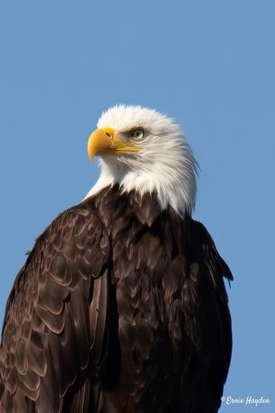 20200726_C Eagles_021-Edit - Eagles & Raptors - Rising Moon NW Photography