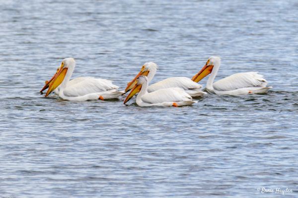 White Pelicans - Waterbirds - Rising Moon NW Photography