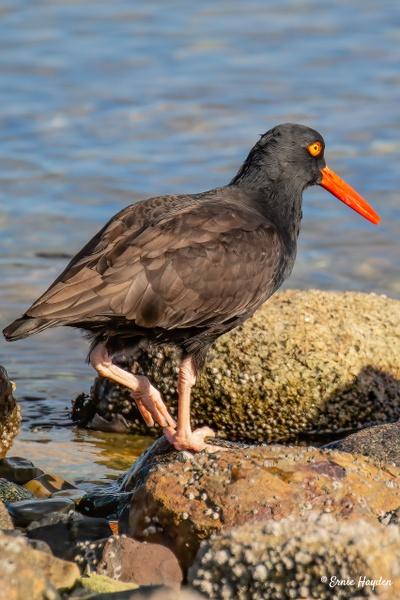 A Beautiful Bird - An Oyster Catcher - Waterbirds - Rising Moon NW Photography