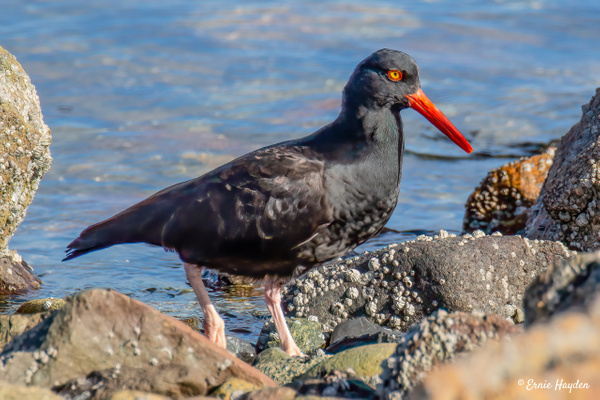 A Handsome Oyster Catcher - Waterbirds - Rising Moon NW Photography