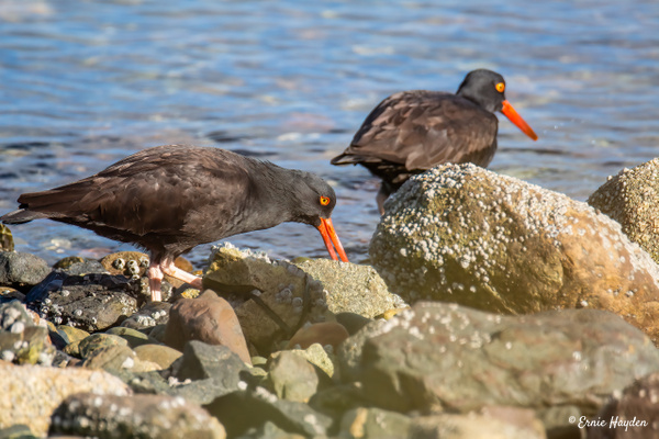2 Oyster Catchers - Waterbirds - Rising Moon NW Photography