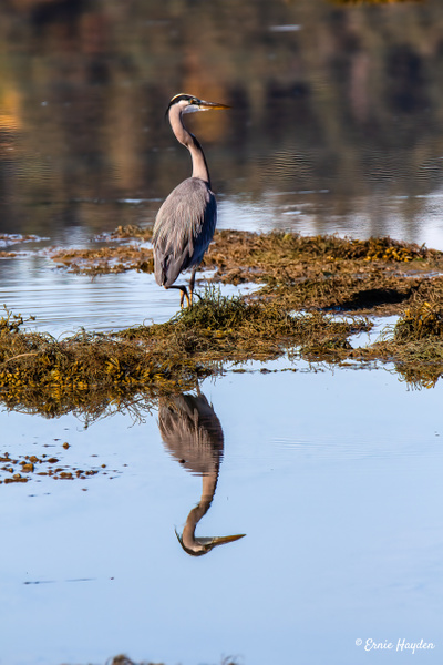 Heron and reflections on Fidalgo Bay - Herons - Rising Moon NW Photography