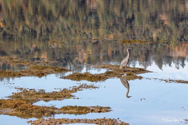 Reflections on Fidalgo Bay - Herons - Rising Moon NW Photography