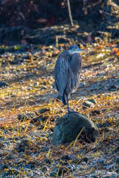 Heron on the Rocks - Herons - Rising Moon NW Photography