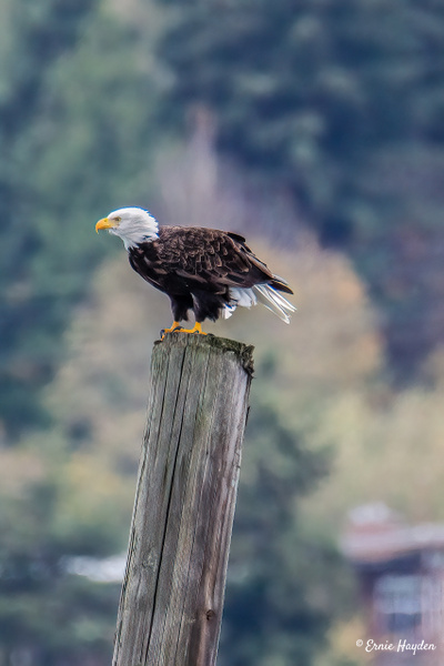 Leaning Into the Wind - Eagles & Raptors - Rising Moon NW Photography