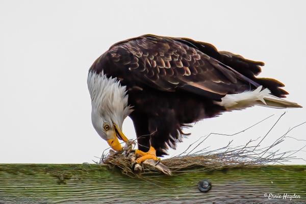 20201104 Eat2 - Eagles & Raptors - Rising Moon NW Photography