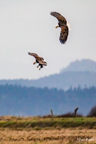 Acrobatic Eagles - Eagles & Raptors - Rising Moon NW Photography