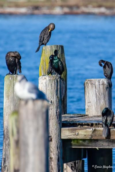 Sleeping Cormorants ZZZZZZ - Waterbirds - Rising Moon NW Photography