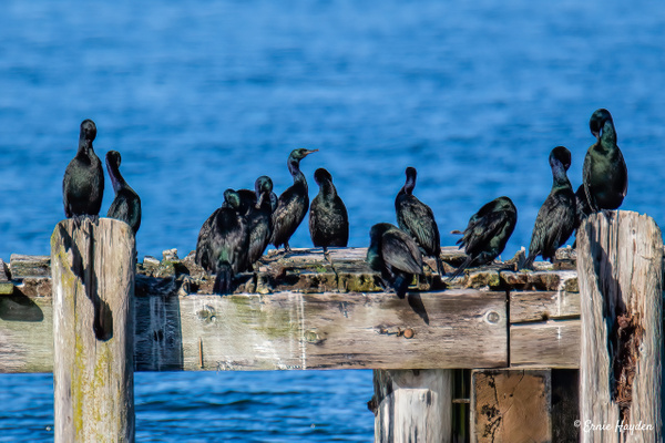 Cormorants Sunning Themselves - Waterbirds - Rising Moon NW Photography