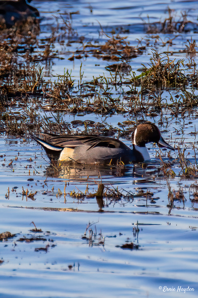 Northern Pintail - Waterbirds - Rising Moon NW Photography