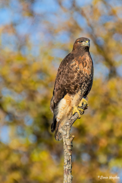 Red Tail Hawk - Eagles & Raptors - Rising Moon NW Photography