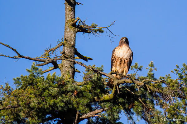 Hawk Standing Watch - Eagles & Raptors - Rising Moon NW Photography