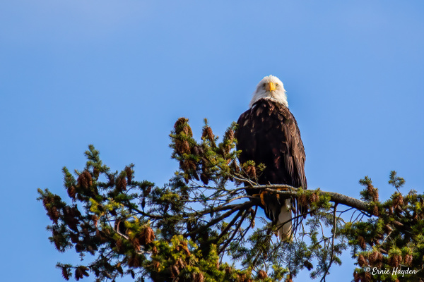 High & Mighty Eagle - Eagles & Raptors - Rising Moon NW Photography