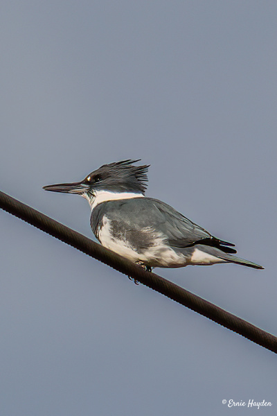 Kingfisher - Waterbirds - Rising Moon NW Photography