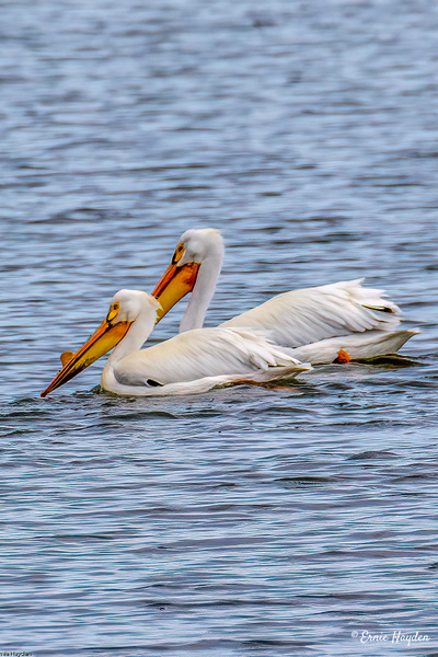 White Pelicans - 2 - Waterbirds - Rising Moon NW Photography