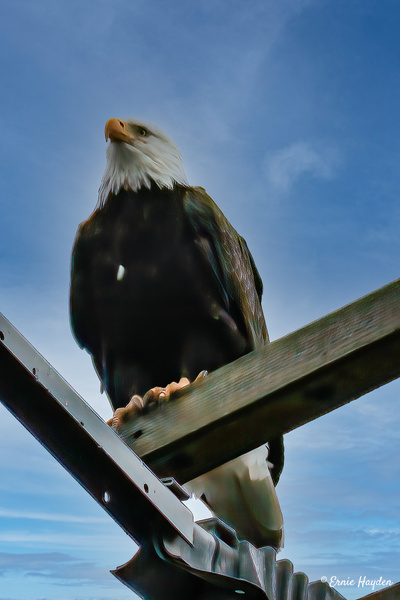 Handsome Eagle Standing Watch - Eagles & Raptors - Rising Moon NW Photography