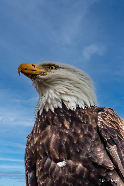 Very Handsome Eagle - Eagles & Raptors - Rising Moon NW Photography